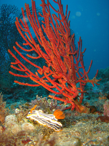 Corals and Nubibranch