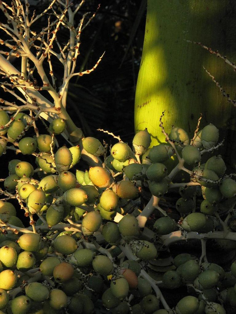 Oil Coconuts