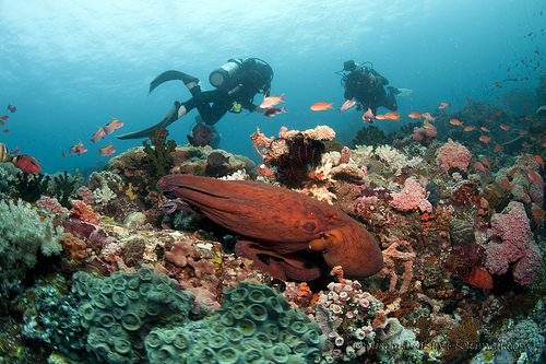 An octopus in Anilao's underwater corals
