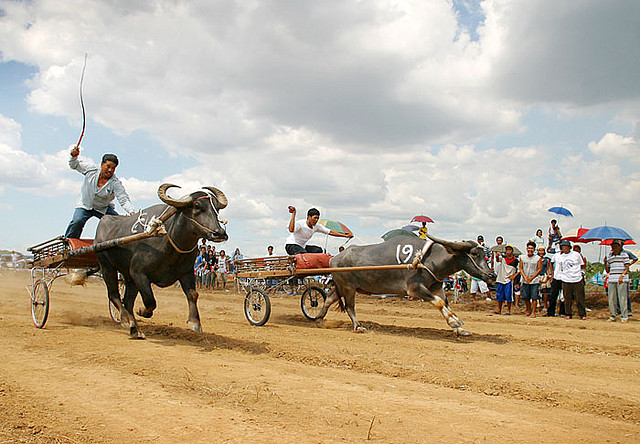 Carabao Race by roger_alcantara/Creative Commons