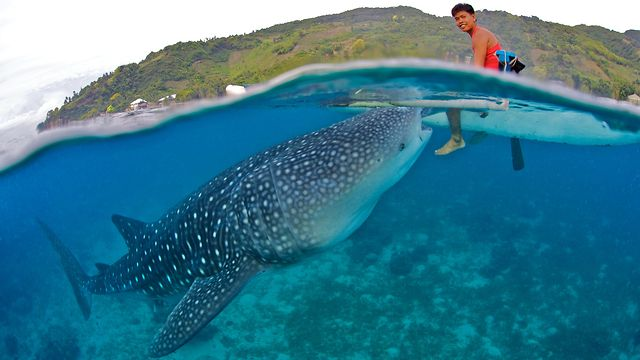 Whale Shark Experience in Oslob, Cebu