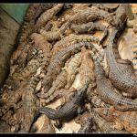 Palawan Crocodiles
