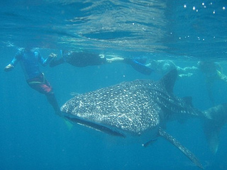 Whale Shark in Donsol