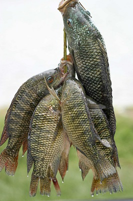Fresh Tilapia Photo by: Niall Crotty/Creative Commons
