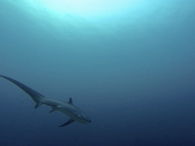 Thresher Shark at Monad Shoal, Malapascua Island Photo by: Maxime Guilbot of Flickr.com/CC