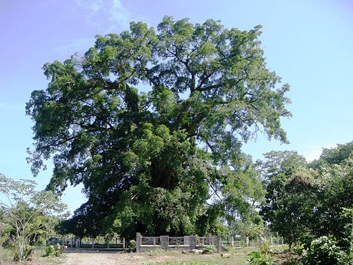Millenium Tree  Photo by: Ramon FVelasquez/Wikimedia Commons