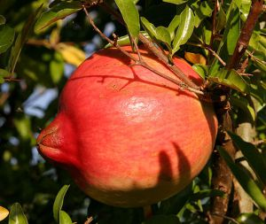 Pomegranate Photo by: Fir0002/Wikimedia Commons