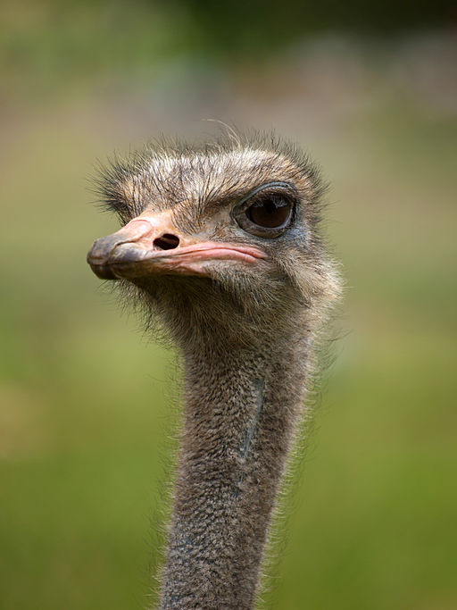Ostrich Photo by: Bruce1ee/Wikimedia Commons